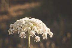 Белый зонтик - цветок Стоковые Изображения RF