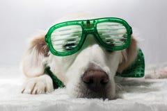 Белый золотой retriever с зелеными стеклами партии ` s St. Patrick Стоковые Изображения RF