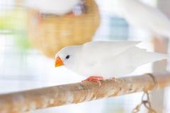 Белый зяблик estrildid в клетке Стоковые Изображения RF
