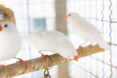 Белый зяблик estrildid в клетке Стоковое Изображение