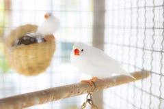 Белый зяблик estrildid в клетке Стоковое фото RF