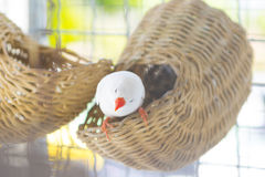 Белый зяблик estrildid в клетке Стоковые Фото