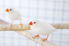 Белый зяблик estrildid в клетке Стоковые Фотографии RF