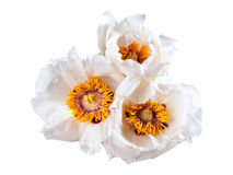 Белый изолированный цветок пионов Стоковая Фотография RF
