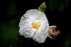 Белый имбирь Стоковые Фотографии RF