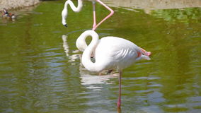 Белый длинн-шагающий фламинго в пруде видеоматериал
