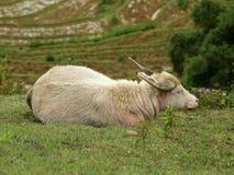 Белый индийский буйвол & x28; Bubalis& x29 буйвола; обозревая террасные поля sapa Вьетнам Стоковая Фотография RF