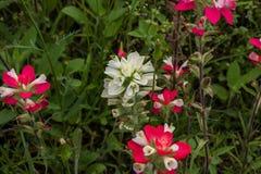 Белый индийский Paintbrush Стоковые Фото