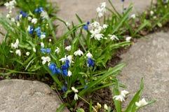Белый и голубой крупный план flowerbed galanthus Стоковое Фото