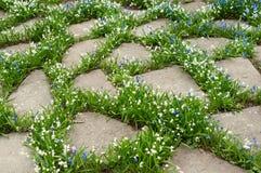 Белый и голубой flowerbed galanthus с камнями Стоковая Фотография