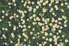Белый и желтый стоцвет цветет на зеленой траве; текстура ретро стиля флористическая Стоковая Фотография