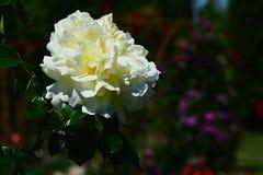 Белый и желтый цветок зарева розы золотого, Brownell 1937 Стоковое Изображение