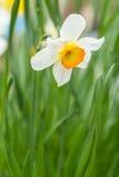 Белый и желтый Daffodil (Narcissus Tazetta) Стоковая Фотография