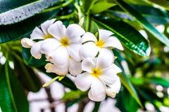 Белый и желтый frangipani plumeria цветет с листьями Стоковые Изображения RF