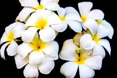 Белый и желтый Plumeria на предпосылке Стоковые Изображения