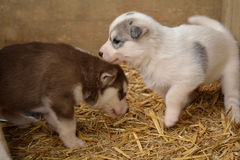 Белый и коричневый осиплый щенок стоковая фотография