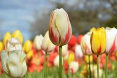 Белый и красный тюльпан Стоковая Фотография RF