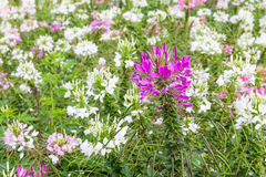 Белый и розовый Cleome Spinosa цветков паука в саде Стоковые Изображения RF