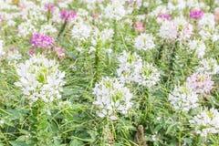Белый и розовый Cleome Spinosa цветков паука в саде Стоковое Фото