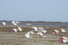Белый и розовый Ibis Стоковые Фотографии RF