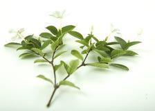 Белый и душистый цветок Стоковое Изображение RF