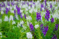 Белый и фиолетовый цветок Salvia Стоковые Изображения