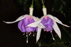 Белый и фиолетовый Fuchsia цветок стоковая фотография rf