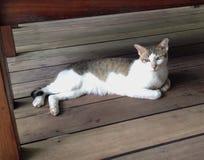 Белый и черно-коричневый кот Стоковое Изображение