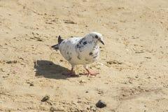 Белый и черный голубь на почве Стоковые Изображения