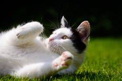 Белый и черный кот играя на лужайке Стоковое фото RF