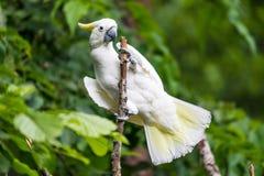 Белый какаду в дереве Стоковое Изображение
