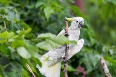 Белый какаду в дереве Стоковое Изображение RF