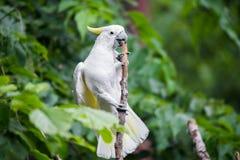Белый какаду в дереве Стоковые Фото