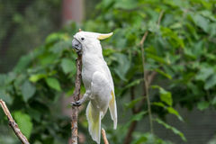 Белый какаду в дереве Стоковые Изображения