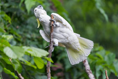 Белый какаду в дереве Стоковые Изображения RF