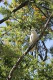 Белый какаду на дереве Стоковые Фото