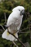 Белый какаду попугая птицы на дереве Стоковые Фотографии RF