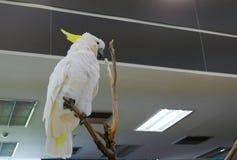 Белый какаду попугая Стоковые Изображения RF
