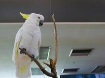 Белый какаду попугая Стоковое фото RF