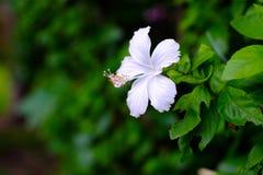 Белый китаец поднял, розовый цветок ботинка в саде Ферзь tr Стоковые Изображения RF