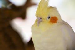Белый конец-вверх cockatiel Стоковое Изображение