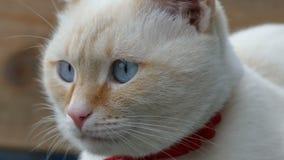 Белый конец кота вверх по портрету голубых глазов стороны  сток-видео