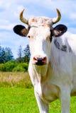 Белый конец намордника коровы вверх Стоковая Фотография
