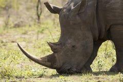 Белый конец носорога вверх Стоковое фото RF