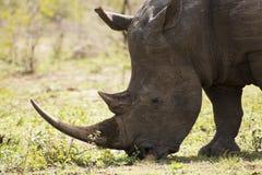 Белый конец носорога вверх Стоковое Изображение RF
