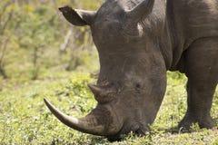 Белый конец носорога вверх Стоковые Фото