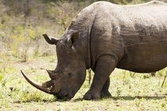 Белый конец носорога вверх Стоковые Изображения