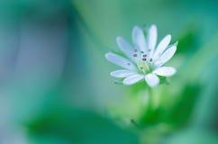 Белый конспект цветка весны стоковое изображение rf