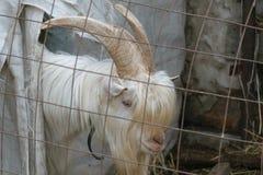 Белый костюм козы в paddock за решеткой Стоковые Изображения