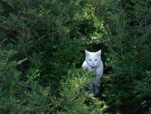 Белый кот в shrubbery Стоковые Фотографии RF